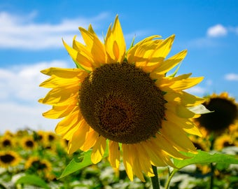 Large sunflower in summer field