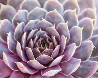 Succulent Photograph, Purple Succulent Art, Boho Art Print, Botanical Photo, Bathroom Wall Art, Lavender Succulent Print, Kitchen Art