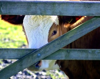 Cow photograph, farm animals, animal photography, country wildlife, countryside,animal pictures,wall art Decor gifts,nature photographs, art