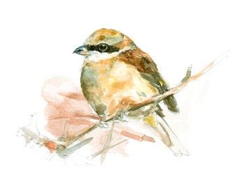 Brown Shrike watercolor painting - bird watercolor painting - 5x7 inch print - 0093