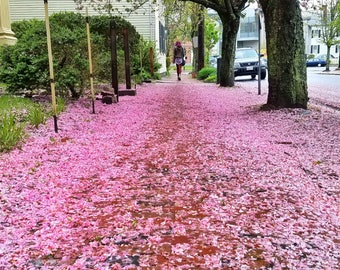 Pink blossoms on Federal Street in Salem