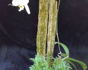 Live Orchid and Rabbits Foot Fern mounted on mossy cedar
