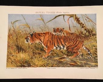 Royal Tiger - Original Vintage Print,  Antique Color Lithograph, Natural History Print