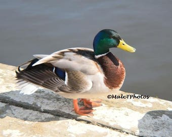Mallard Duck Print, Wildlife Print, Nature Photograph, Color Photograph, Duck Photography, A4 or A3 Size.