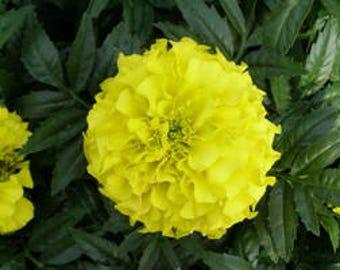 Marigold Taishan Yellow Live Plants Spring Annual Live Plants