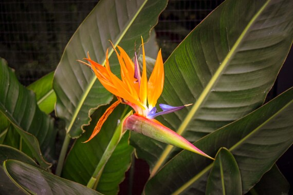 "Nature, ""Bird of Paradise Flower"", Flower Photography, Nature Photography, Flower, Wall Art, Wall Decor, Fine Art Photography, Home Wall Art"