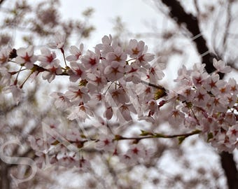 Photo print cherry blossoms