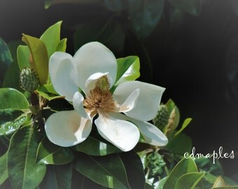 Magnolia Bloom Photo, Magnolia flower photo, Flower Photo, White Flower, Magnolia