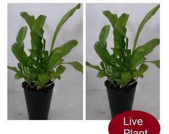 Recao Culantro Eringyum foetidum 2 Live Plants