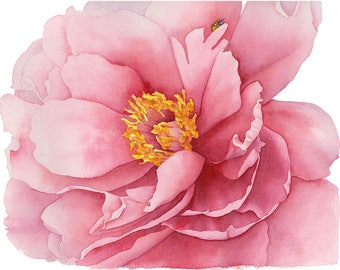 Peony & bee watercolour painting, peony, floral, flower watercolor print