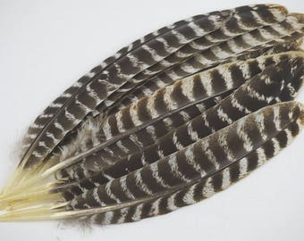 Turkey Feathers - Natural Barred Wild Turkey Quill Feathers - 10-1000 Pieces 11-13 inches