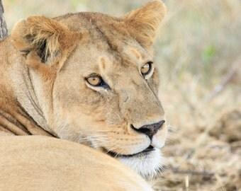 Lioness - Fine Art Print
