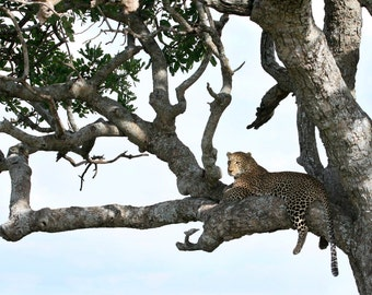 Lounging Leopard - Fine Art Print
