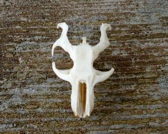 SALE Real Pocket Gopher Rodent Skull Partial