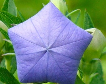 Platycodon grandiflorus Purple Balloon Flower Plant 100 Seeds #1161