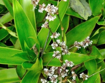 Callisia fragrans Basket Plant Rare Medicinal Herb Live 2 Cuttings Antimicrobial Joint