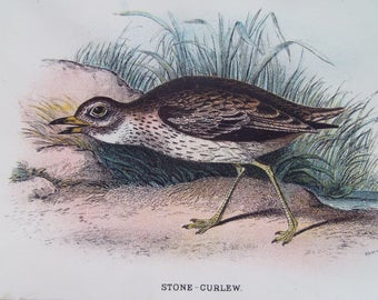 Birds-The Stone Curlew Vintage bookplate- dated 1880 12cm x 18cm