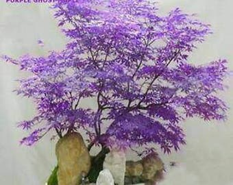 Lotto 2 semi bonsai wisteria