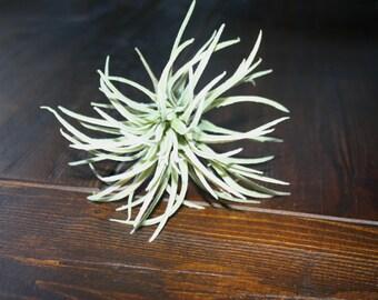 Faux Succulent Stem: Air Plant Tillandsia Ionantha