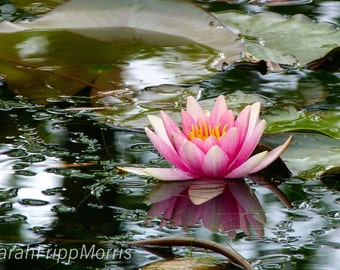 Print, Pink Waterlily, Nature, Fine Art, Photography, Flowers, Greeting Card, Wall Art