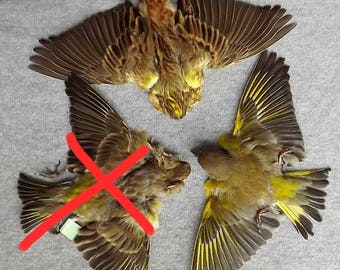 SALE!! BIRDS SKINS taxidermy bird curiosity feathers bird.