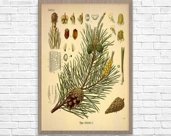 Antique Botanical Art Print Scotch Pine, Vintage Botanical Home Decor, Antique Book Plate Illustration 1887, Giclee Pine Cones Picture