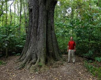 Live Cherrybark Oak Trees 1 Gallon 2 to 3 Feet Tall Right Now!!!