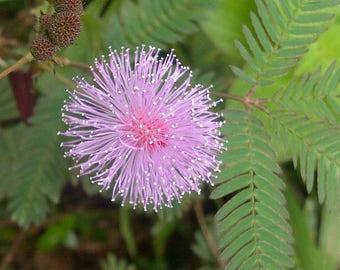 500 Mimosa Pudica  Seeds, Sensitive Plant Seeds