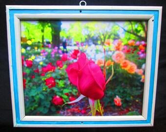 Framed Print - Magenta Rose