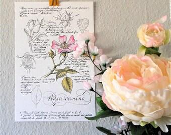 """Original Botanical Illustration """"Rosa canina"""""""