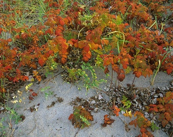 Rubus, Beach pea and carex on a beach near Sept-Îles, Côte-Nord