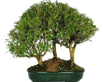 Bonsai Serissa Chinese Forest 3 trees