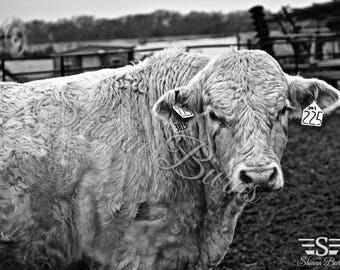 Charlois Cattle Prints