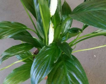 Peace lily (White Flag) live Aquarium Plant. Live, Fresh, Healthy, Potted.*Free Shipping*