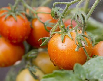 Two Live Plants Mountain Merit Tomato Plants 4 to 7 Inches tall in 3.5 Inches Pots Family Run Business Since 1957