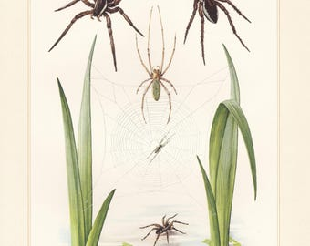 Vintage lithograph of long-jawed orb weaver, raft spider from 1956
