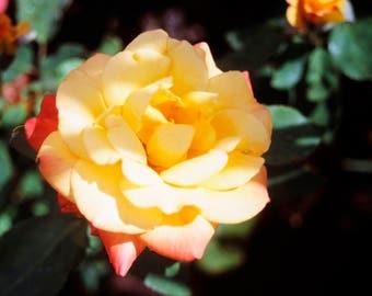YELLOW ROSE - photo print