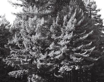 Photograph of redwood trees, black and white, canon film camera 35mm