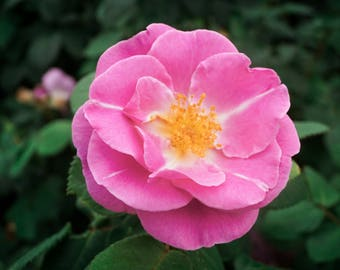 "Pink Rose - Photo Print 6x4"""