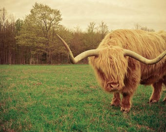 Scottish West Highland Steer Photograph - Farm Animal Print - Michigan Art - Animal - Dreamy Photography - Nature Photography - Green Brown