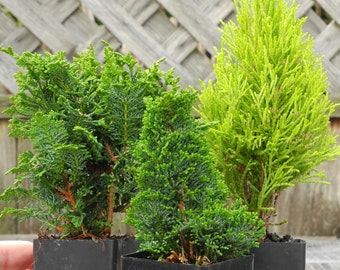 Miniature Garden TINY Tree Set of 3 for Fairy Gardens, Pre Bonsai, Railroad Gardens, Outdoor Plants, Set of 3, Hinokis and Lemon Cypress