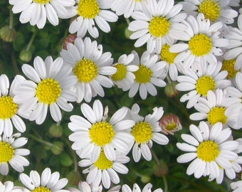 REAL Fairy Garden Daisies! Flowering Miniature Garden Plant, Hardy, Outdoor Perennial for Pots or Fairy Garden Bed, Long Blooming, CUTE!