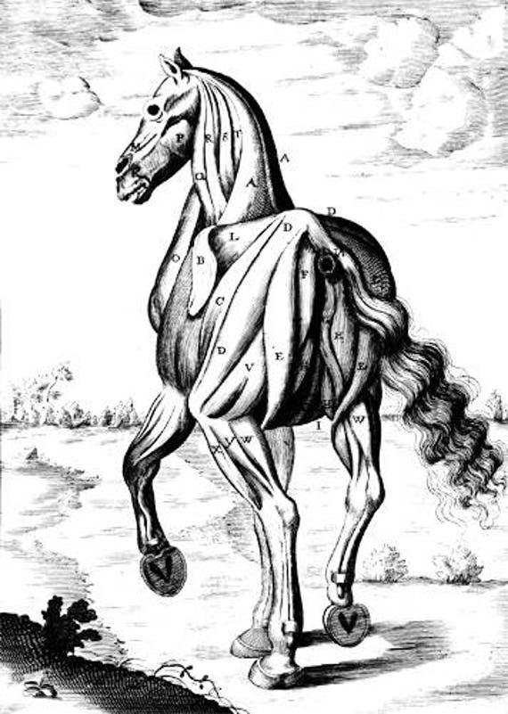 horse muscles animal anatomy printable art digital download image graphics clipart png clip art vintage science digi stamp digital stamp
