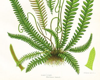 Hard Fern Antique Print . Original Botanical Plant Chromolithograph Vintage Plate Circa 1860