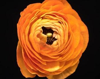 Orange Ranunculus, Flower Photography, Botanical Wall, Art Prints - Nature Photograph, bright orange, pale yellow, nursery decor, feminine