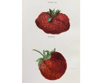 1905 strawberry fruit print original antique berry berries lithograph print - strawberries pl VII - bubach & excelsior