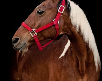 Paint Horse with Black Background | Horse Photography in Color