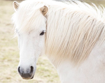 White Horse Photograph in Color | White Horse Print | Icelandic Horse Art