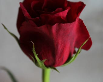 Red Rose Beauty and the Beast Fine Art Photo