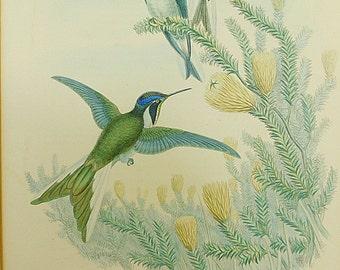 Antique Original hand colored John Gould lithograph Helianthea Violifer, Violet Throated Star Fronlet